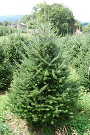 Silvertip Fir Christmas Tree by Top 4 Types Of Christmas Trees 1 Fraser Fir