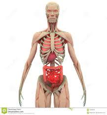 interieur corps humain femme le corps humain illustration stock image du diabète à l