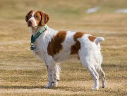 Springer Spaniel Shed Hunting by Top 10 Best Dogs For Bird Hunting Herepup