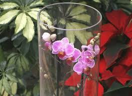 cultiver les orchidées en vase