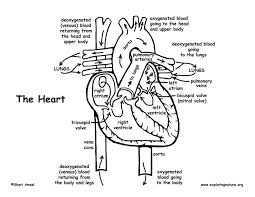 Human Body Heart Coloring Pages