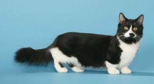 munchkins cats 9 facts about munchkin cats you should just cats