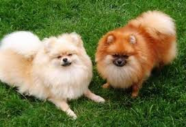 Do Bichon Pomeranians Shed by Pomeranian Dog Breed Information And Pictures