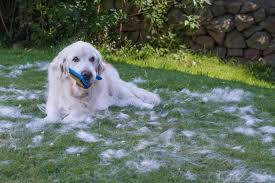 Dogs That Shed Less Hair by Golden Retriever Shedding How Much And How To Get Control