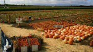 Pumpkin Patch Roseville Ca by Bobby Dazzler U0027s Pumpkin Patch Bobby Dazzler U0027s Pumpkin Patch