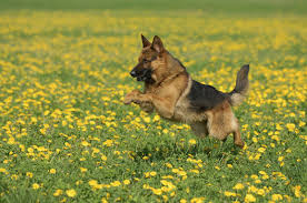 photos le berger allemand est toujours le chien le plus répandu