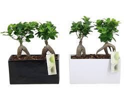 pot bonsai grande taille bonsai florastore