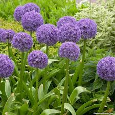 allium bulbs globemaster american