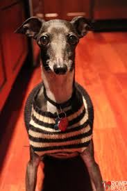 Do Italian Greyhounds Shed A Lot by Adopting An Italian Greyhound Romp Italian Greyhound Rescueromp