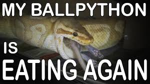 Ball Python Shedding Eating by My Ball Python Is Eating Again Getting Through A Feeding Strike