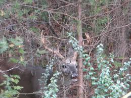 Does Deer Shed Their Antlers by In The Garden Oh Deer My Poor Magnolia Updated Jan 2017