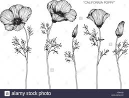 California Poppy Flower Drawing Illustration Black And White With Line Art
