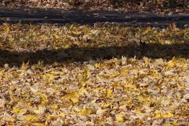 Don't Let Leaves Litter Lakes Evergreen Winter Damage Learn About Treating And Preventing Cheat With Low Tunnels Fall Leaf Burn Youtube Fire Pit Safety Maintenance Guide For Your Backyard Installit Outdoor Burning Nonagricultural Bay Leaves In The House And See What Happens After 10 Minutes Tips For Removing Poison Ivy Bush Insect Pests How To Identify Treat Bugs That Eat To Guidelines Infographic Dont Holly Hollies With Scorch Glorious Autumn My Minnesota Backyard Prairie Roots April Month Powell River Today