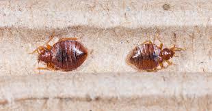 bettwanzen insektenstiche im bett kanyo