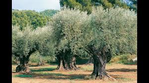 l olivier culture plantation taille entretien bouturage et