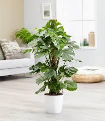 monstera fensterblatt ca 50 cm hoch 1 pflanze real de