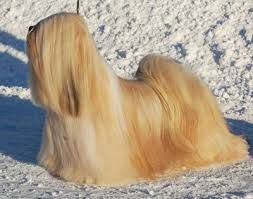 My Lhasa Apso Is Shedding Hair by Chic Choix Lhasa Apso Breeding U2013 Chic Choix Team