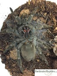 how do tarantulas molt