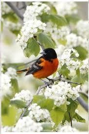 Tannenbaum Christmas Tree Farm Kelowna by Die Besten 25 Baltimore Orioles Birds Ideen Auf Pinterest