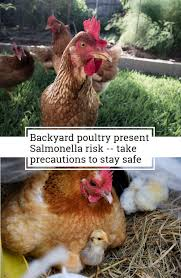 The 25+ Best Salmonella Symptoms Ideas On Pinterest | Memes, True ... The 25 Best Salmonella Symptoms Ideas On Pinterest Memes True Pharmacologist Warns That Eggs From Backyard Chickens Pose Chicken Chick Salpingitis Lash Eggs In Backyard Chickens Raising Chickenswhat You Need To Know Penn State Food Safety Blog And The Higher Risk Health Concerns When Tending Tahoetruckee Nationwide Salmonella Outbreak Linked Pet Makes 611 Sick Nbc News Outbreaks 47 States How Not Get Your Chicken