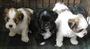 Shih Tzu Lhasa Apso Shedding by Lhasa Apso Price In India Lhasa Apso Puppy For Sale In Lucknow