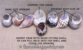 Do Hermit Crabs Shed Their Body by Hermit Crab Shell Selection
