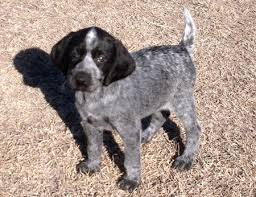 German Shorthaired Pointer Shed Hunter by 10 German Shorthaired Pointer Shed Hunter Solid Black
