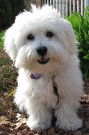 Low Shedding Small Dogs by Coton De Tulear Dog Breed Information And Images K9rl