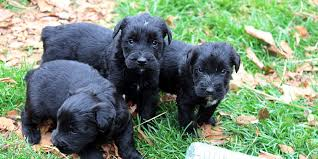 Do Giant Schnauzers Shed by Giant Schnauzer Information Characteristics Facts Names
