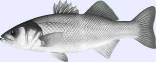 cuisine bar poisson recettes2poisson com cuisiner le bar ou loup à l antillaise