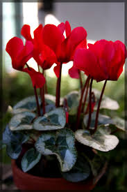 Pot Plants For The Bathroom by Cyclamen Care How To Take Care Of Cyclamen Plants