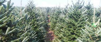 Fraser Fir Christmas Trees Delivered by Fraser Fir Christmas Trees North Carolina