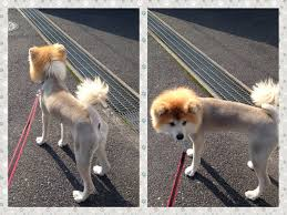Do Akita Dogs Shed Hair by Japanese Akita Dog With Lion Hair Cut Nene Animals Pinterest