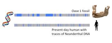 how molecular clocks are refining human evolution s timeline sapiens
