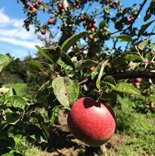 Miller Christmas Tree Farm Ct by Beardsley U0027s Cider Mill U0026 Orchard Home Facebook