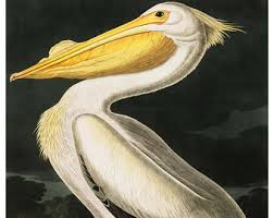 Vintage Audubon American Pelican Bird Print Giclee Art Poster Beach