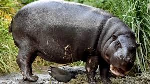 si鑒e social hippopotamus hippopotamus si鑒e social 28 images flodhest i sk 230 nderi