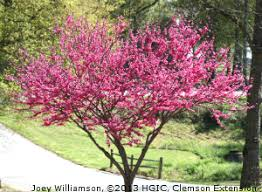 Ace Of Hearts Redbud Cercis Canadensis In Bloom