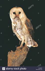 Barn Owl Carrying A Dead Rat South Africa Stock Photo, Royalty ... Farmer Saves Rat From Death In Her Own Barn Redwood Coast Aazk Rat Poison Alternatives Mouse Poop Droppings Victor The Chicken Chick 15 Tips To Control Rodents Around Coops Black Rattus Rattus Foraging Of Farm Stock Photo Barn Owl About Enter Its Nest Carrying A Dead For Young Nose Work Hunt 44094 Kangaroo Rats San Diego Zoo Institute Cservation Research Mice And New York The Barn Rat Blog Remains Found Within The Wall During