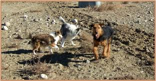Do Airedale Puppies Shed by Airedales Frequently Asked Questions Airedale Socialization And