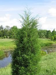 Florida Native Christmas Trees