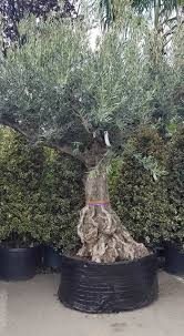 Christmas Tree Seedlings Wholesale by Best 25 Large Trees For Sale Ideas On Pinterest Paintings Of