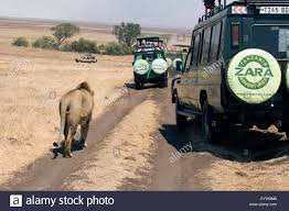 Safari Trucks Follow A Male Lion, Ngorongoro Crater, Tanzania ... Truck African Safari Recycled Dark Green Tin Pop Up Roof Toyota Twilight Metalworks Custom Hunting Rigs Jeeps The Animals On At Selous Game Reserve Tzania Heymoon Blakefarms Apple Orchard Zombie Paintball 2016 Easter Jeep Concept Trucks Test Drives With Photos Suburban Bds Chevrolet Unveils More Concept Cars And Trucks For Sema Motor Trend In Costa Rica Gallery Eastern Surplus 5 Vehicles That Are Guaranteed To Rock Your Kenyan Any Archives Fast Lane 2004 14 Passenger Taxi Van Overland Transportation