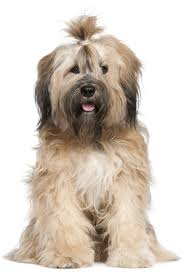 Large Sized Dogs That Dont Shed by 16 Active Dog Breeds That Dont Shed Do Shih Tzu Shed