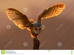 Evening Light With Bird With Open Wings. Action Scene With Owl ... Barn Owl Landing Spread Wings On Stock Photo 240014470 Shutterstock Barn Owl Landing On A Post Royalty Free Image Wikipedia A New Kind Of Pest Control The Green Guide Fence Photo Wp11543 Wp11541 Flight Sequence Getty Images Imageoftheday By Subject Photographs Owls Kaln European Eagle Coming Into Land Pinterest Pictures And Bird