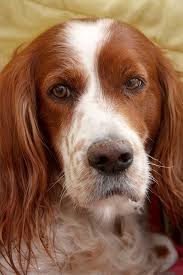 10 Dog Breeds That Shed The Most by Irish Red And White Setter Dog Breed Information Pictures