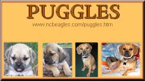 Do Pugs And Puggles Shed by Puggles