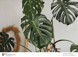 monstera wallpaper a royalty free stock photo from photocase