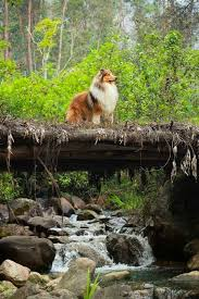 Rough Collie I love this breed my first dog was a collie sable and white like this one I had collies when i was a boy Maybe a smooth collie