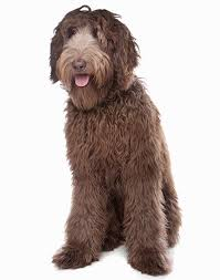 Non Shedding Dogs Small To Medium by 35 Dog Breeds That Don U0027t Shed Small Medium U0026 Large Breeds